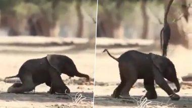 Viral Video: जन्म के फौरन बाद लड़खड़ाते कदमों से चलने की कोशिश करता दिखा नवजात हाथी, मनमोहक वीडियो हुआ वायरल