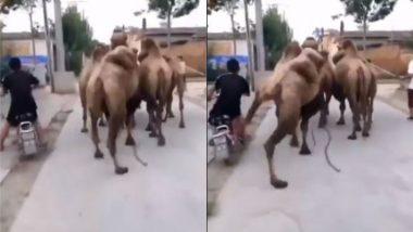 ऊंट के बगल से बाइक लेकर गुजर रहा था शख्स, जानवर को आया गुस्सा तो मारा एक जोरदार किक (Watch Viral Video)