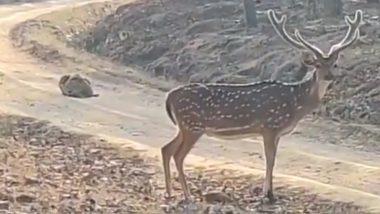 पत्थर बनकर हिरण का शिकार करने बैठा था चालाक तेंदुआ, लेकिन एक गलती ने बिगाड़ दिया सारा खेल (Watch Viral Video)