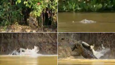शातिर शिकारी! नदी किनारे घात लगाए बैठा था जगुआर, छलांग लगाकर पल भर में किया मगरमच्छ का शिकार (Watch Viral Video)