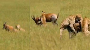 हिरण का शिकार करने के लिए उसके पीछे लगा पैंथर्स का पूरा झुंड, आगे जो हुआ…(Watch Viral Video)