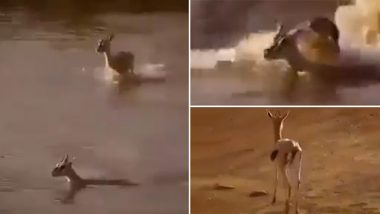 मगरमच्छ के जबड़े से अपने बच्चे को बचाने के लिए ऐसे दौड़ी मां हिरणी, किया कुछ ऐसा..देखें दिल दहला देने वाला वीडियो