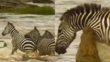 नदी पार कर रहे थे जेब्रा, अचानक पीछे से मगरमच्छ ने किया हमला फिर जो हुआ… (Watch Viral Video)