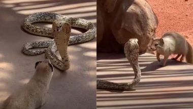 Cobra Vs Mongoose: किंग कोबरा और नेवले के बीच जबरदस्त लड़ाई को देख उड़ जाएंगे आपके होश, VIDEO में देखें कौन पड़ा किस पर भारी?