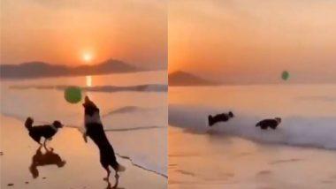 समुद्र तट पर गुब्बारे के साथ खेलते नजर आए दो कुत्ते, मनमोहक वीडियो इंटरनेट पर हुआ वायरल (Watch Viral Video)