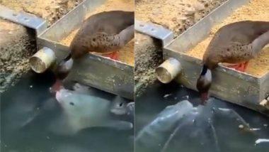 गजब! मछलियों को अपनी चोंच से खाना खिलाकर बत्तख ने जीता सबका दिल, Viral Video में छुपा है महत्वपूर्ण संदेश