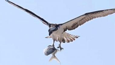 मछली को पंजों में जकड़कर आसमान में चील ने भरी ऊंची उड़ान, वीडियो देख आप भी रह जाएंगे दंग (Watch Viral Video)