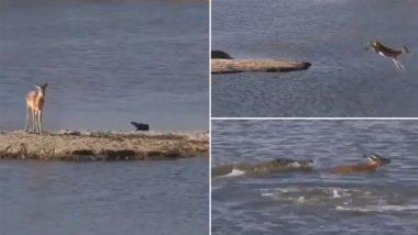 नदी के बीच फंसे हिरण ने कर दी ऐसी बेवकूफी कि मगरमच्छ ने पलक झपकते ही उसे बनाया अपना शिकार (Watch Viral Video)