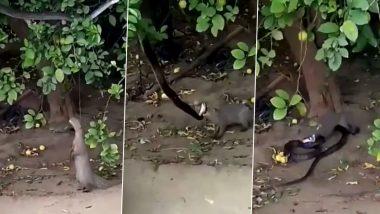 पेड़ पर सांप को देख नेवले ने लगाई ऊंची छलांग, झपट्टा मारकर ऐसे किया उसका शिकार (Watch Viral Video)
