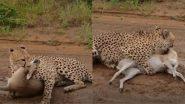 Viral Video: चीता ने हिरण को तड़पा-तड़पा कर बनाया अपना शिकार, देखें कैसे किया जानलेवा हमला