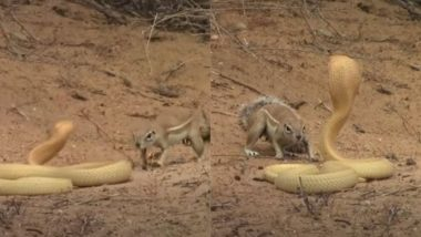 बच्चों की जान बचाने के लिए खुद को जोखिम में डालकर किंग कोबरा से भिड़ गई गिलहरी, Viral Video में देखे आगे क्या हुआ?