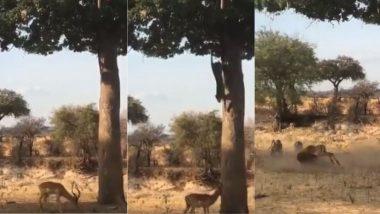 Viral Video: पेड़ पर घात लगाए बैठा था तेंदुआ, हिरण को नीचे देख लगाई छलांग, फिर जो हुआ…