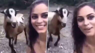बकरी के साथ सेल्फी लेना महिला को पड़ा भारी, गुस्से में आकर जानवर ने किया ऐसा अटैक कि… (Watch Viral Video)