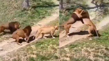 शेरनी पर आया दिल तो उसके लिए आपस में ही भिड़ गए दो शेर, लड़ाई का दिलचस्प वीडियो हुआ वायरल (Watch Viral Video)