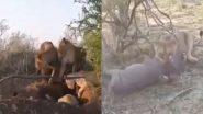 Viral Video: जंगली सूअर के घर में घुसकर शेरनी ने ऐसे किया उसका शिकार, वायरल वीडियो देख आप हो जाएंगे हैरान