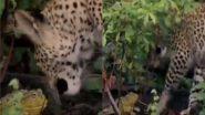 विशाल तेंदुए पर भारी पड़ा एक छोटा सा मेंढक, दोनों की लड़ाई का रोमांचक वीडियो हुआ वायरल (Watch Viral Video)