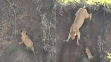 गड्ढे में गिरे नन्हे शेर को बचाने की शेरनी ने की बहुत कोशिश, लेकिन… Viral Video में देखें आगे क्या हुआ