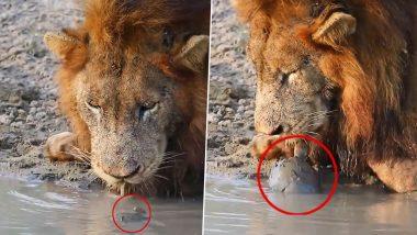 नदी किनारे पानी पी रहे शेर के सामने आकर जब कछुआ दिखाने लगा टशन, फिर जो हुआ… (Watch Viral Video)