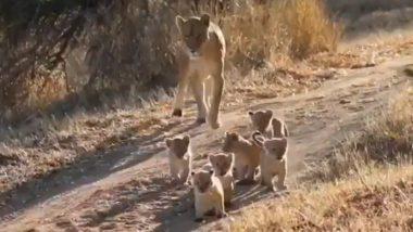 शेरनी के पीछे कतार में चलते दिखे नन्हे शेर, Viral Video देख आपके चेहरे पर आ जाएगी मुस्कान