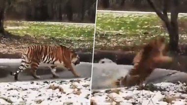 Tiger Viral Video: बर्फ से जमे तालाब पर चल रहा था बंगाल टाइगर, उसके बाद जो हुआ...देखें वीडियो