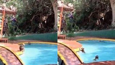 कोरोना के कोहराम से बंद हुए स्विमिंग पूल तो बंदरों की हुई चांदी, पानी के भीतर वानर सेना ने ऐसे लिए मजे (Watch Viral Video)