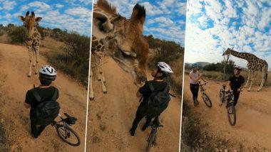 दक्षिण अफ्रीका के सफारी पार्क में अचानक माउंटेन बाइकर के सामने आया जिराफ, फिर जो हुआ… (Watch Viral Video)