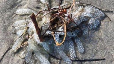 Mysterious Sea Creature: समुद्र किनारे मिला एक रहस्यमय समुद्री जीव, वायरल तस्वीर देख उड़े लोगों के होश