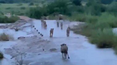 Viral Video: क्या तौकते तूफान बाद गिर के जंगल में पानी के बीच चलते दिखे कई शेर, जानें वायरल वीडियो की सच्चाई