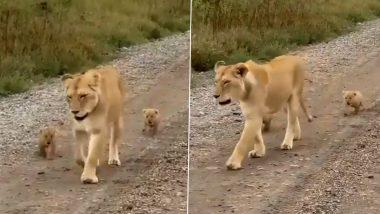 मां शेरनी और उसके दो नन्हे शावकों का मनमोहक वीडियो हुआ वायरल, जिसमें छुपा है एक महत्वपूर्ण संदेश (Watch Viral Video)