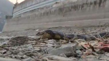जब एक जिंदा सांप को निगलने लगे खुद नागराज, हैरान करने वाला वीडियो हुआ वायरल (Watch Viral Video)