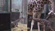 Baby Giraffe Video: जन्म के बाद बेबी जिराफ ने बढ़ाया अपना पहला कदम, उसके बाद जो हुआ..देखें वीडियो