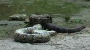 Python Eats Alligator Video: देखते ही देखते विशाल एलीगेटर को निगल गया अजगर, वीडियो देख दहल जाएगा दिल