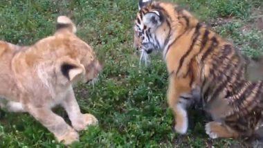 Video: टाइगर और शेर के बच्चे का एक साथ झगड़े वाला आकर्षक क्लिप वायरल, वीडियो देख बन जाएगा दिन