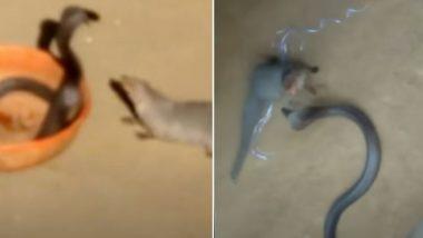 जब किंग कोबरा और नेवले की बीच छिड़ी खूनी जंग, Viral Video में देखें अपनी जान बचाने के लिए नागराज को करनी पड़ी कितनी मशक्कत