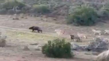 अपने बच्चे के साथ कई शेरों के बीच घिर गई भैंस, जान बचाने के लिए अकेले ऐसे किया सबका सामना (Watch Viral Video)
