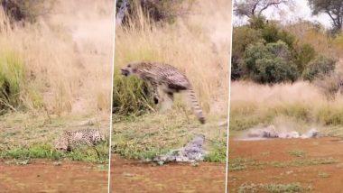 शिकार करने के लिए मगरमच्छ ने चीते पर मारा झपट्टा, Viral Video में देखें कैसे बाल-बाल बची उसकी जान