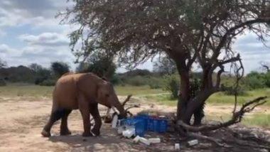 भूख से तड़प रहा था नन्हा हाथी, फिर दूध की बोतलों को अपनी सूंड से उठाकर किया कुछ ऐसा… (Watch Viral Video)