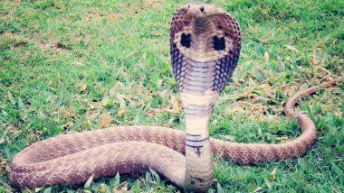 Shocking!!! शख्स ने पालने के इरादे से ऑनलाइन ऑर्डर किया बिना जहर वाला किंग कोबरा, गलती से डिलीवर हुआ जहरीला सांप फिर…
