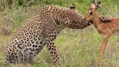 Viral Pic: जब शिकार करने के बजाय नन्हे हिरण से प्यार जताने लगा तेंदुआ, खास लम्हे की तस्वीर हुई वायरल