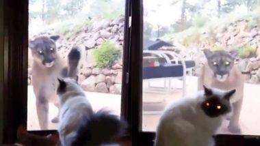 अचानक पालतू बिल्ली के सामने आकर टशन दिखाने लगा पहाड़ी शेर, Viral Video में देखे फिर क्या हुआ