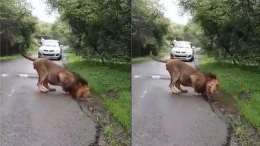 गुजरात: गिर नेशनल पार्क में एशियाई शेर ने किया मानसून का स्वागत, दिल जीत लेगा यह वीडियो (Watch Viral Video)