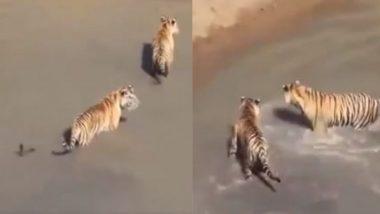 चार खूंखार बाघ मिलकर भी नहीं कर सके एक छोटे से बत्तख का शिकार, देर तक कुछ यूं चलता रहा लुका-छुपी का खेल (Watch Viral Video)
