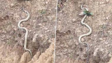 King Cobra Video: हिमाचल प्रदेश की पहाड़ियों पर चढ़ता दिखाई दिया किंग कोबरा, लंबाई में तोड़ा सांपों का रिकॉर्ड, देखें वीडियो