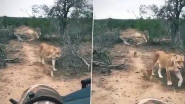 Lioness Viral Video: एक साथ सैर पर निकला शेरनी का पूरा परिवार, वीडियो देख बन जाएगा आपका दिन