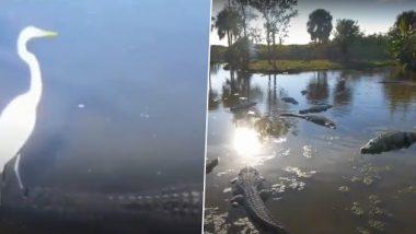 Viral Video: मगरमच्छ की पीठ पर सवार हुई बहादुर सारस, इसकी निर्भीकता देख हैरान हुए नेटिज़न्स, देखें वीडियो