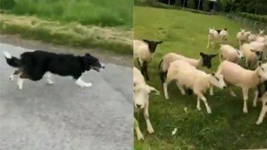 भेड़-बकरियों के झुंड पर अकेला भारी पड़ा कुत्ता, Viral Video में देखें कैसे पल भर में डॉग ने खेत सबको खदेड़ा