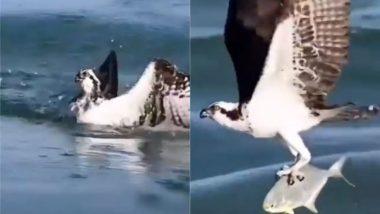 बाज ने आसमान से पानी में तैर रही मछली पर साधा निशाना, Viral Video में देखें कैसे झपट्टा मारकर किया उसका शिकार