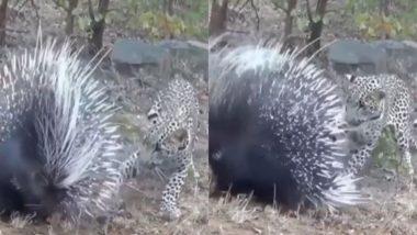 पार्कुपाइन पर अटैक करना तेंदुए को पड़ा भारी, Viral Video में देखें कैसे शिकारी को करना पड़ा कांटों का सामना