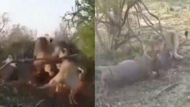 जब एक जंगली सूअर पर टूट पड़ी कई शेरनियां, इस तरह किया उसका शिकार, रोंगटे खड़े कर देने वाला वीडियो हुआ वायरल (Watch Viral Video)