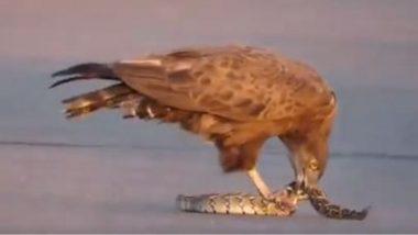 जब नागराज पर पड़ी शिकारी बाज की नजर, Viral Video में देखिए कैसे पक्षी ने किया जहरीले सांप का शिकार